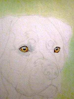Рисуем ротвейлера цветными карандашами - шаг 2