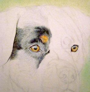 Рисуем ротвейлера цветными карандашами - шаг 3