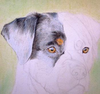 Рисуем ротвейлера цветными карандашами - шаг 4