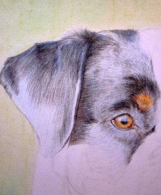 Рисуем ротвейлера цветными карандашами - шаг 5