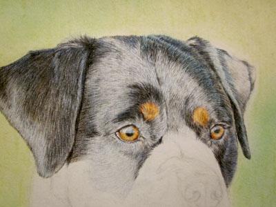 Рисуем ротвейлера цветными карандашами - шаг 8