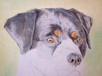 Рисуем ротвейлера цветными карандашами - шаг 9
