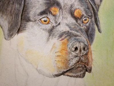 Рисуем ротвейлера цветными карандашами - шаг 10