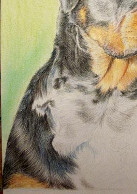 Рисуем ротвейлера цветными карандашами - шаг 14