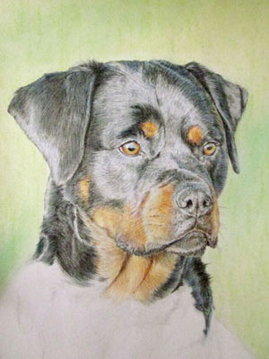 Рисуем ротвейлера цветными карандашами - шаг 12