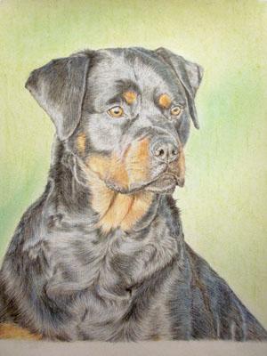 Рисуем ротвейлера цветными карандашами - шаг 16