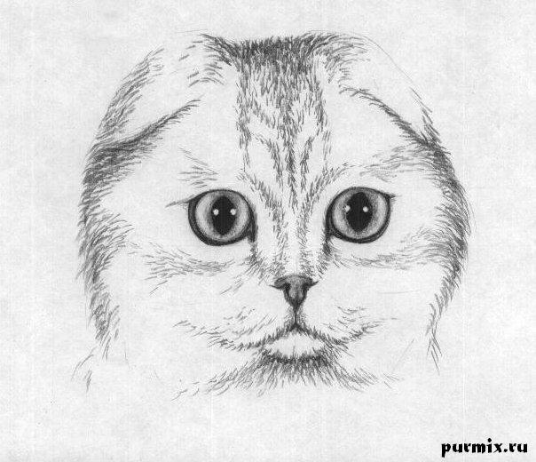 Рисуем шотландскую вислоухую кошку простым - шаг 4