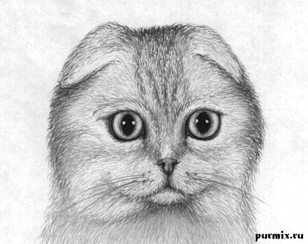 Рисуем шотландскую вислоухую кошку простым - шаг 5