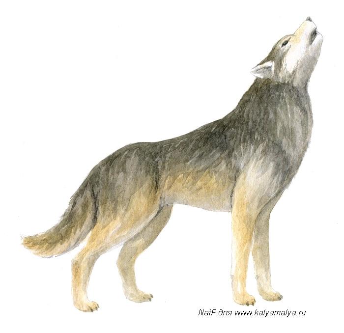 Как легко нарисовать воющего волка детям - шаг 4