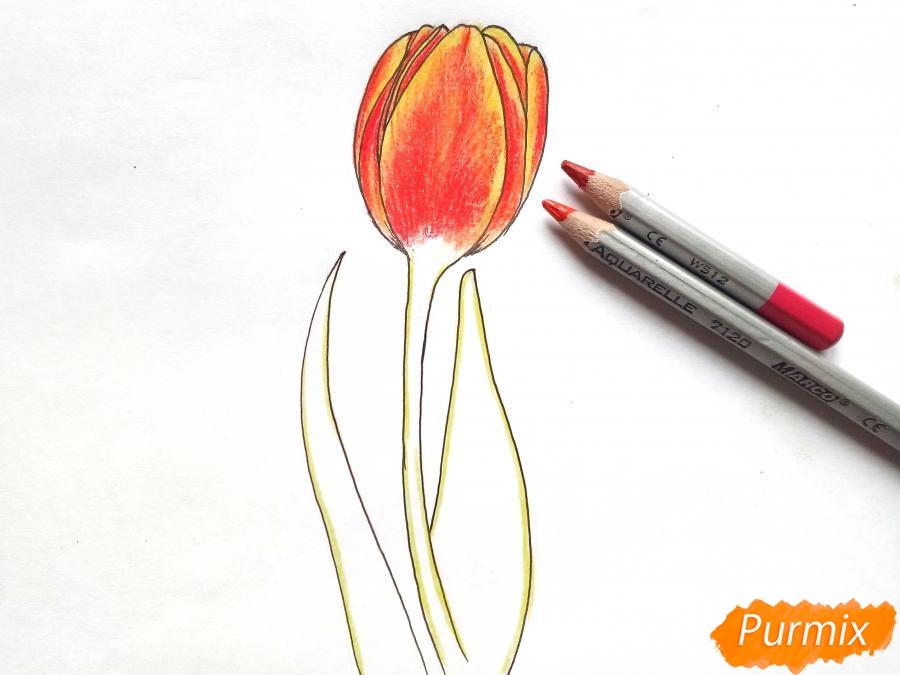 Рисуем бутон тюльпана - шаг 6