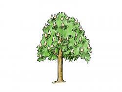 Фото дерево каштан