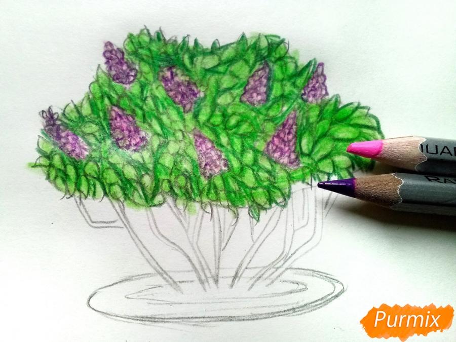 Куст сирени рисунок карандашом цветной