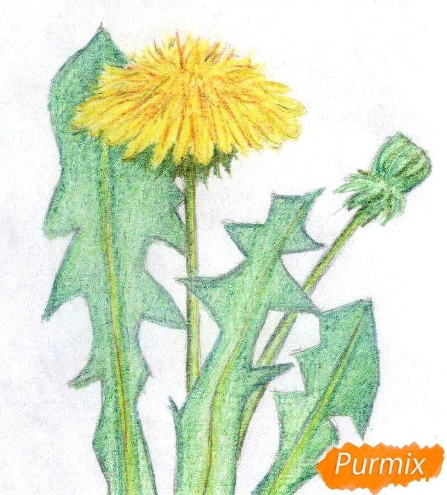 Рисуем одуванчик цветными карандашами - шаг 3