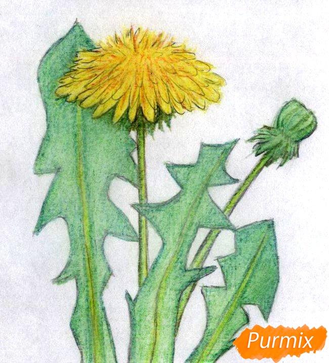 Рисуем одуванчик цветными карандашами - шаг 4