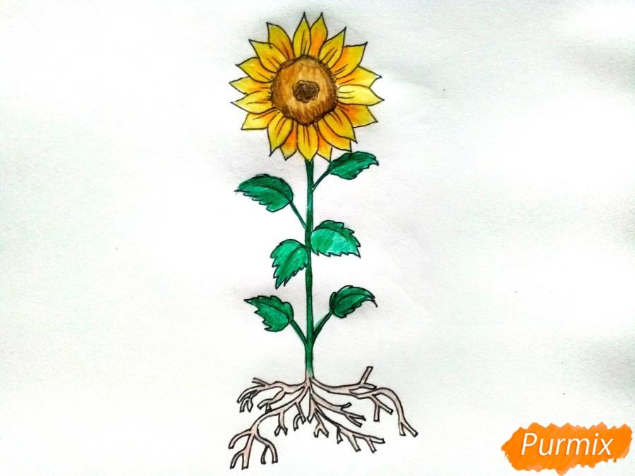 Рисуем подсолнух с корнем и стеблем - шаг 9