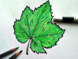 лист винограда карандашом