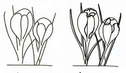 Рисуем цветок крокус - шаг 1