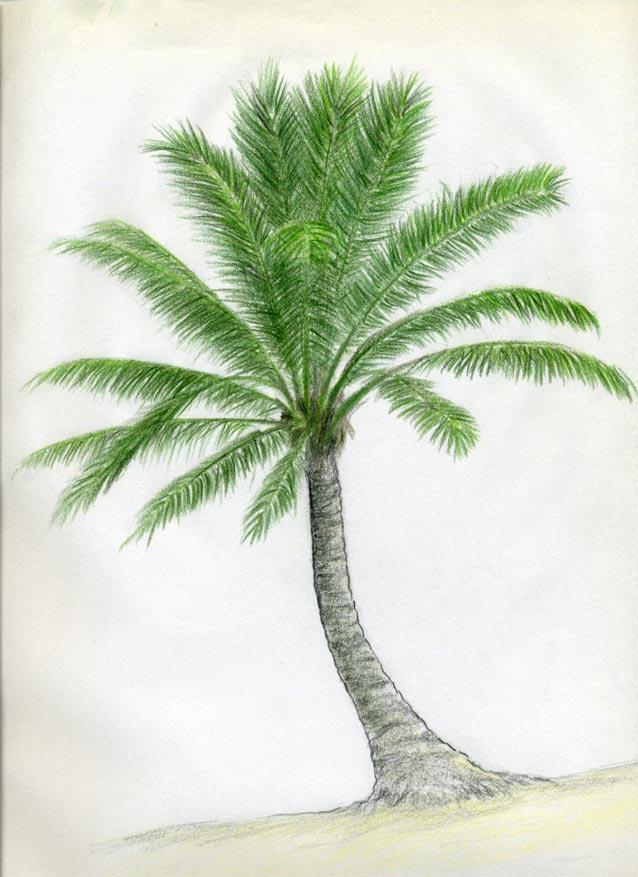 Рисуем кокосовую пальму - шаг 10