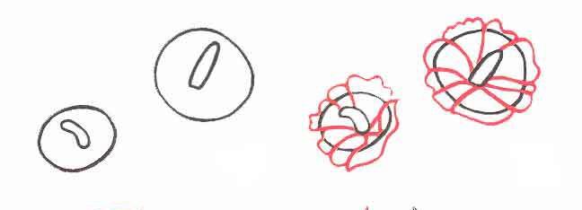 Рисуем два нарцисса - шаг 1