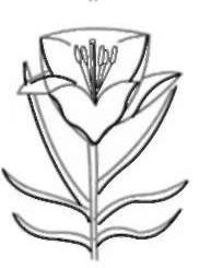 Рисуем лилию  для детей - шаг 2