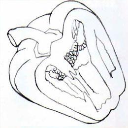 Рисуем болгарский перец в разрезе простым - шаг 3