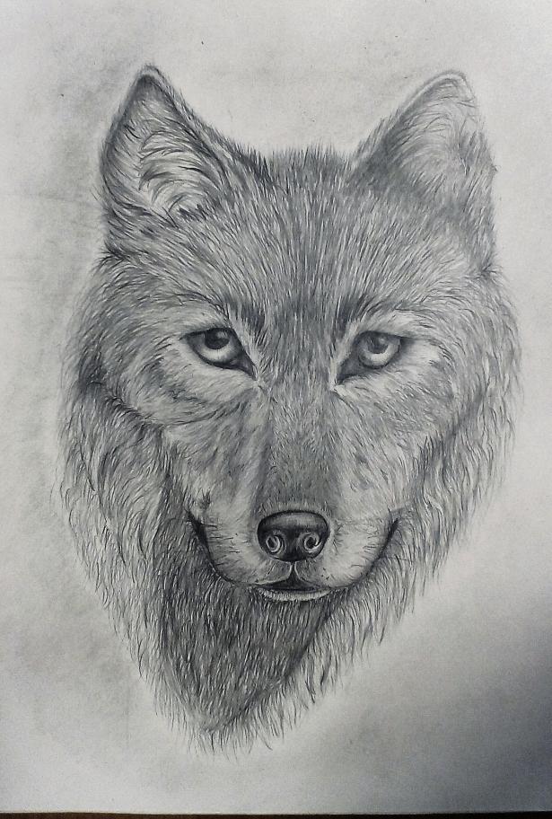 Картинки волки нарисованы простым карандашом
